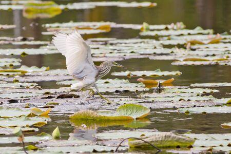 bacchus: Chinese Pond Heron