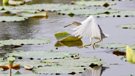 wetland conservation: Chinese Pond Heron
