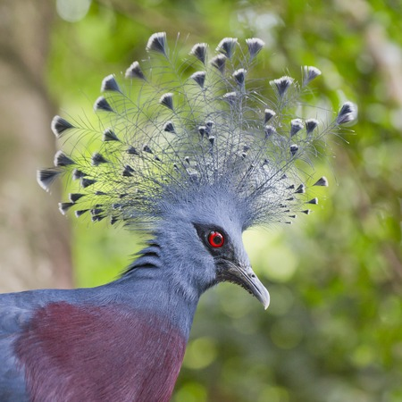 victoria: Victoria Crowned Pigeon (Goura victoria) close up