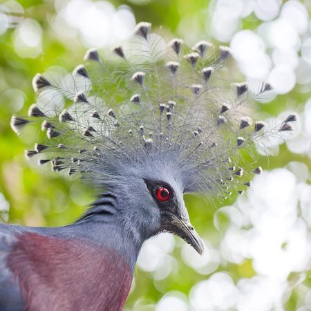 chordata phylum: Victoria coronó la paloma (Goura victoria) de cerca Foto de archivo