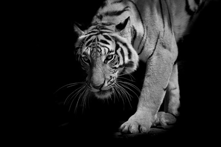 black  white tiger walking step by step isolated on black background Banque d'images