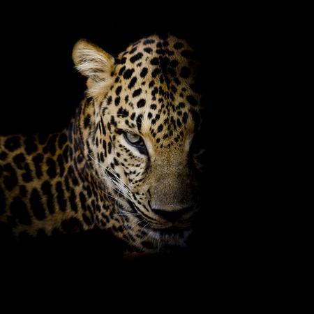 Retrato del leopardo aislado en el fondo negro Foto de archivo