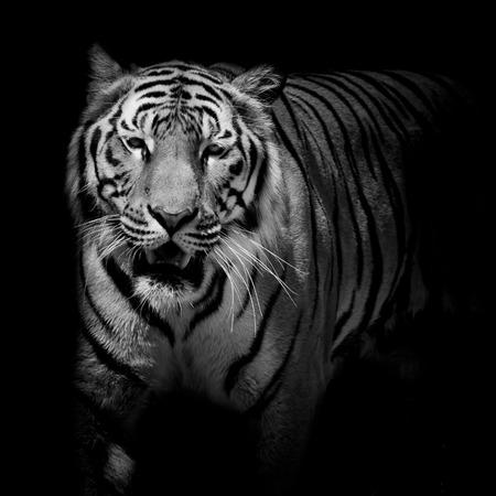 Nahaufnahme schwarz weiße Tiger Knurren auf schwarzem Hintergrund isoliert