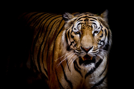 growl: Close up tiger growl - isolated on black background Stock Photo
