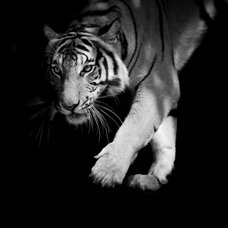 tiger eyes: black  white tiger walking step by step isolated on black background Stock Photo