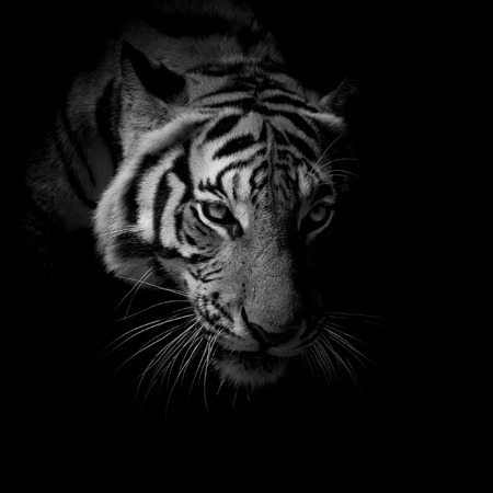 white fur: black  white close up face tiger isolated on black background Stock Photo