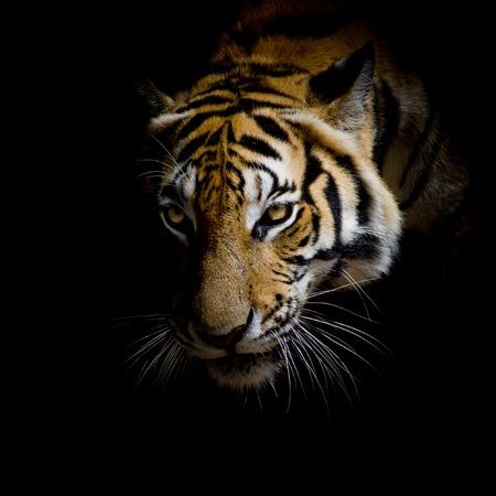 enojo: cerca de la cara del tigre aislado en el fondo negro Foto de archivo