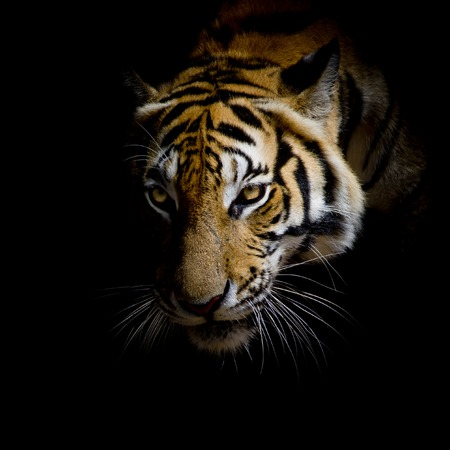 siberian tiger: close up face tiger isolated on black background