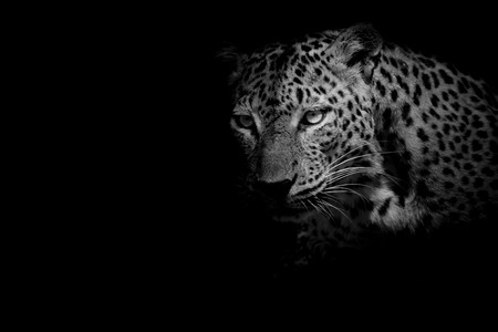 black  white Leopard portrait isolate on black background