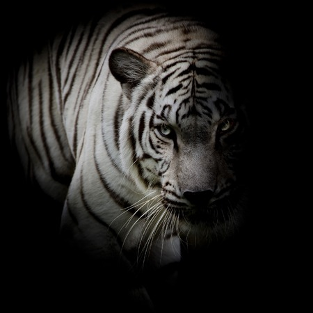 White tiger isolated on black background 写真素材