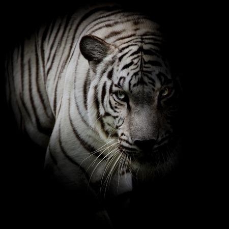tigre blanc: Tigre blanc isolé sur fond noir