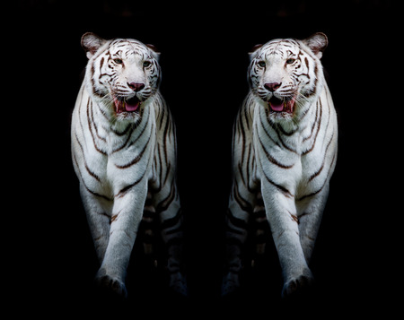 white tigers: Twin white tigers are walking isolated on black background