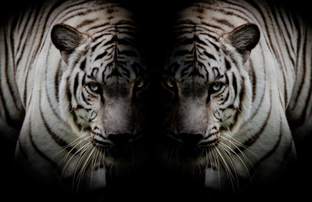 Black  White Twin beautiful tigers face to face isolated on black background