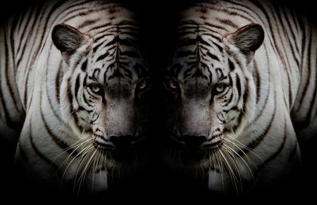 Zwart Wit Twin mooie tijgers aangezicht tot aangezicht geïsoleerd op zwarte achtergrond Stockfoto