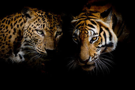 Leopard with blue eyes  Tiger isolate black background