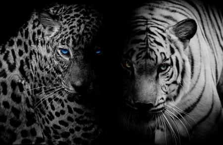 Schwarz Weiß Leopard Tiger mit blauen Augen isoliert schwarzem Hintergrund