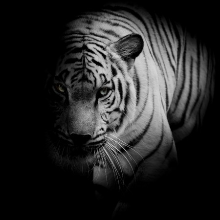roaring tiger: White tiger isolated on black background Stock Photo