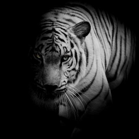 Witte tijger die op zwarte achtergrond