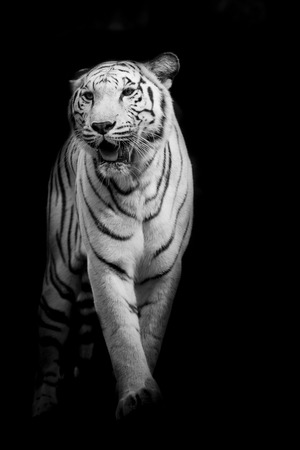 Weißer Tiger Walking isoliert auf schwarzem Hintergrund