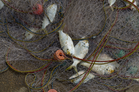 fish net: A lot of Fish in fish net. Just caught a lot of fish in a boat.