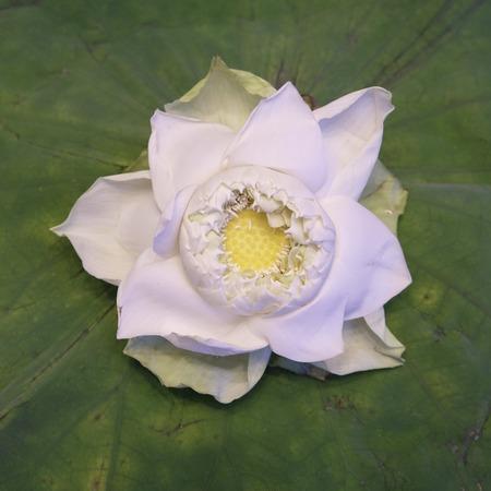 egyptian lily: White Lotus flower isolate on lotus leaf Stock Photo