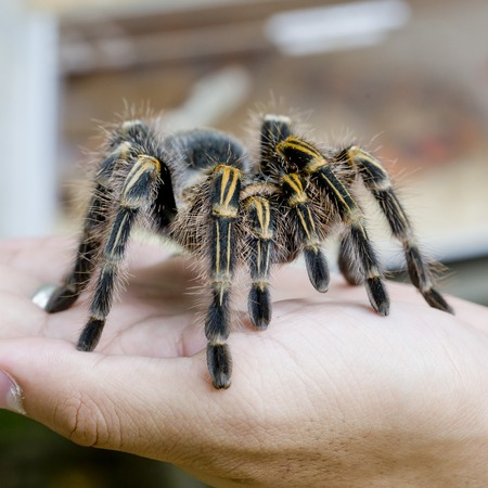 invertabrate: Mexican redknee tarantula Brachypelma smithi, spider female in human hand
