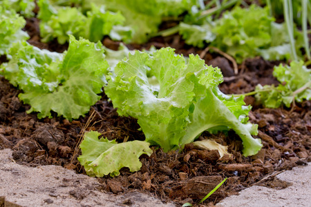 pesticide free: Lettuce planting n the Pesticide residue free garden