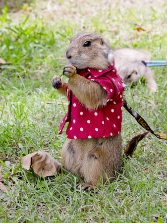 prairie dog: prairie dog with red shirt abd necklace standing upright