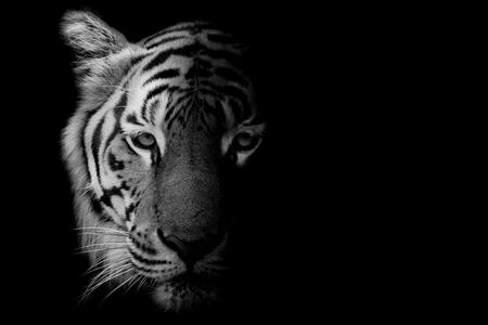 cerca: Negro y blanco Tigre hermoso - aislado en el fondo negro Foto de archivo