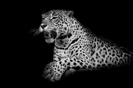 Leopard Schwarz-Weiß
