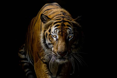Tiger on black Stock Photo