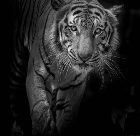 Tigre sobre negro