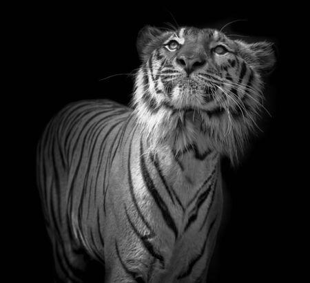 Tigre su nero Archivio Fotografico