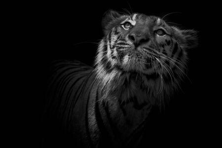 Tiger on black Foto de archivo