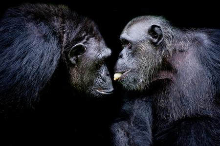 Gorila occidental de las tierras bajas, dos mamíferos bromean juntos. Un gorila compartiendo plátano a un amigo sobre fondo negro Foto de archivo
