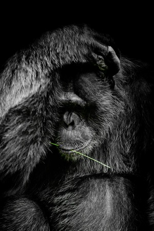 Close up portrait Cutie Gorilla isolated on black monochrome portrait