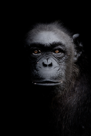 Close up portrait Gorilla look straight ahead isolated on black monochrome portrait