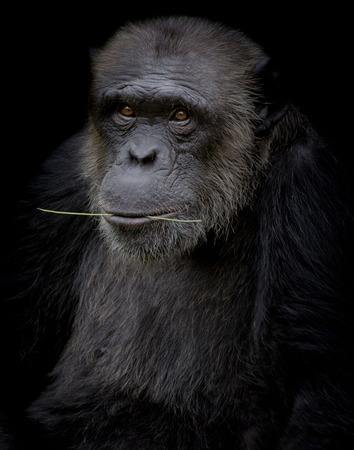Chimpanzee hold branch in his mouth on black background Stock Photo