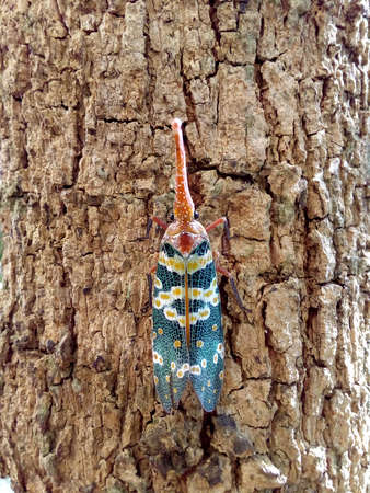 insect bug, Lanternfly, Pyrops candelaria, colorful insect on tree fruit. Stock Photo