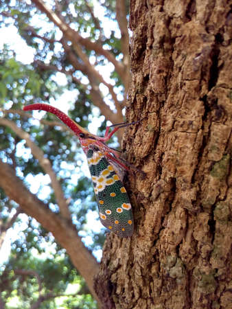 closeup: insect bug, Lanternfly, Pyrops candelaria, colorful insect on tree fruit. Stock Photo