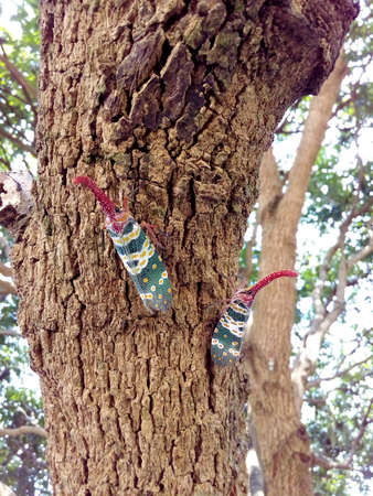 Two insect bug, Lanternfly, Pyrops candelaria, colorful insect on tree fruit.