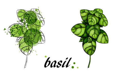 flavorful: Fresh basil leaves isolated on white background. Illustration