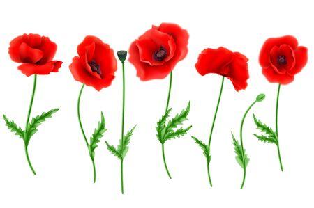 single flower: Red Poppy flower isolated on white background, vector illustration.