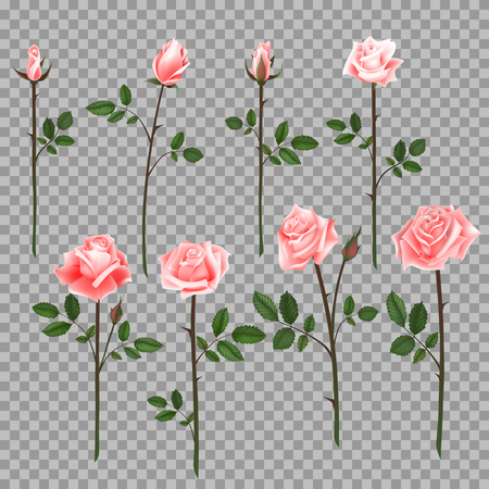 Vector set of pink roses. Four pink roses from bud to full blossom. Illustration
