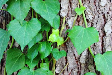 Tree bark with ivy