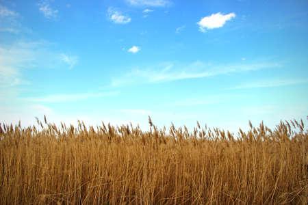 Grove of reeds photo