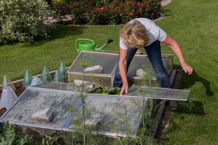 Cold Frame with cucumber plants