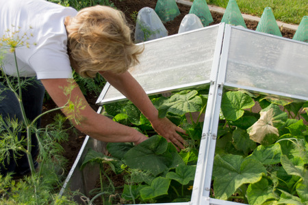 hotbed: Cold Frame with cucumber plants
