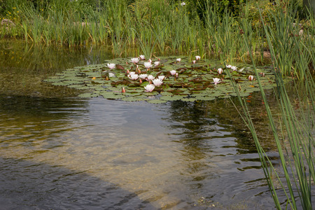 seerosen: Pond with water lilies