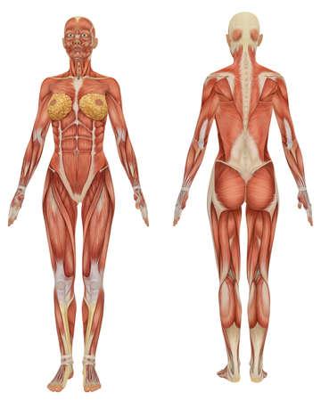 여성 근육질 해부학의 전후방보기 매우 교육적인